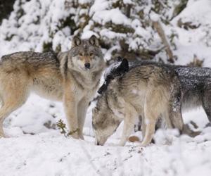wolflife